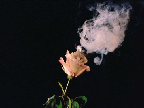 rose flower in front of dark background with steam above the flower