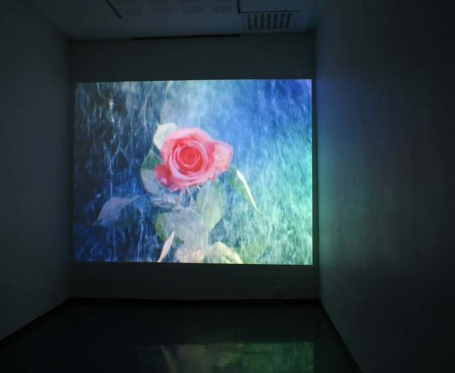 large video projection of exploding rose
