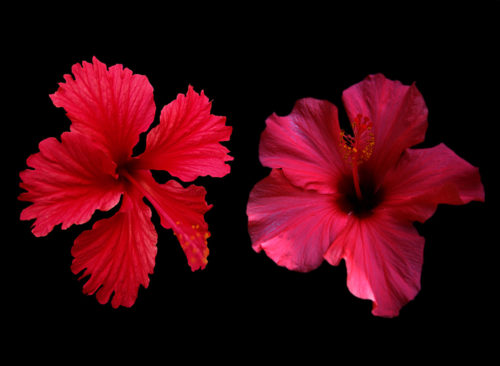 two red hibiscus flowers on dark background