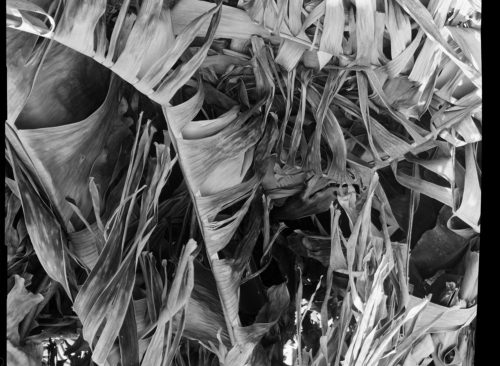dry banana leave in plantation, b/w photograph